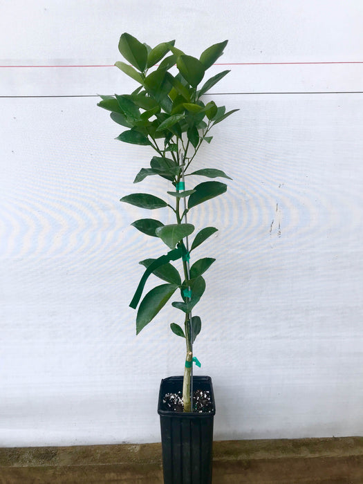 Hamlin Orange Tree 1 Gallon