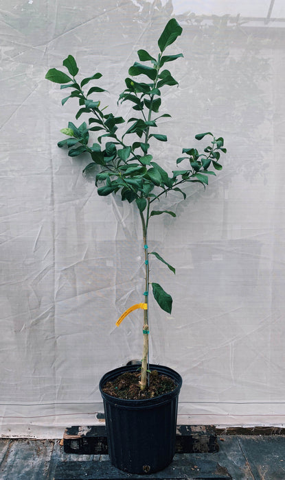 Harvey Lemon Tree For Sale 3 Gallon