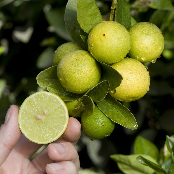 Key Lime Tree (Thornless)