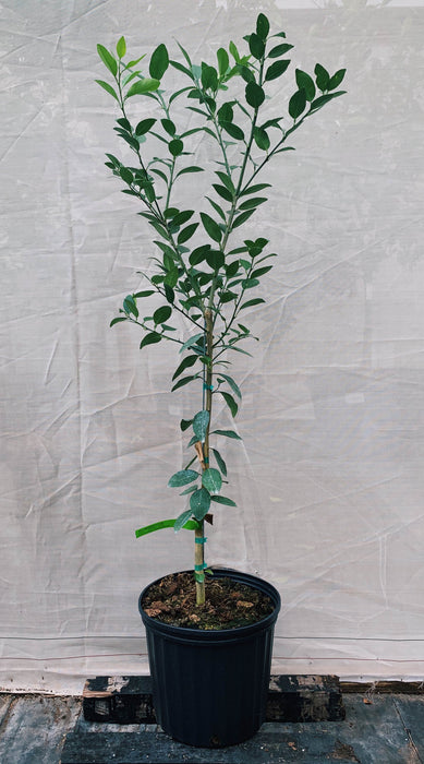 Key Lime Tree 3 Gallon