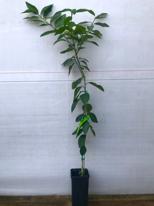Key Lime Tree - 1 Gallon