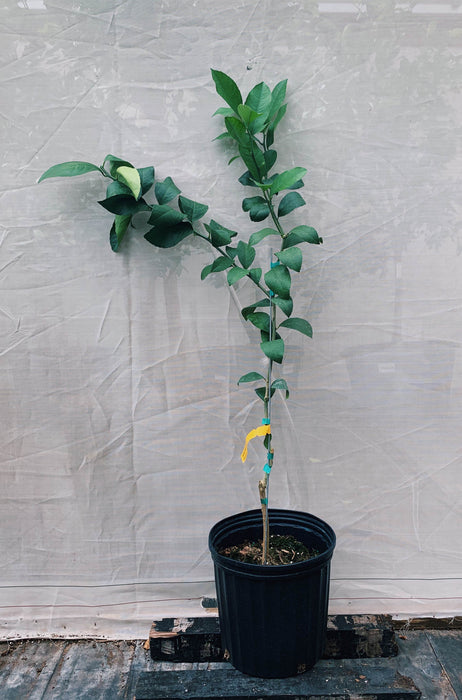 Meyer Lemon Tree 3 Gallon
