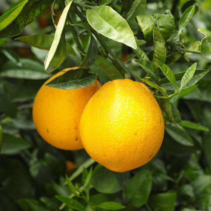 Navel (Washington) Orange Tree