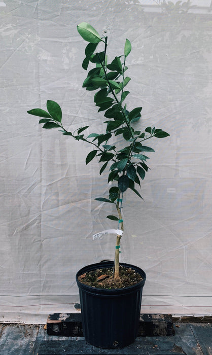 Navel Orange Tree 3 Gallon