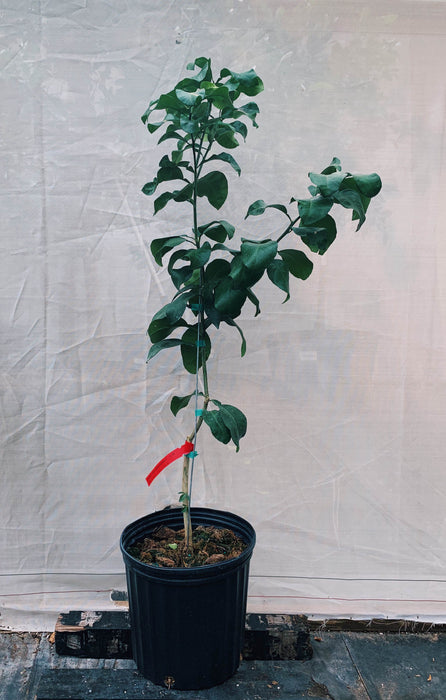 Thompson Pink Grapefruit Tree 3 Gallon