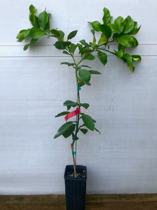 Red Grapefruit Tree