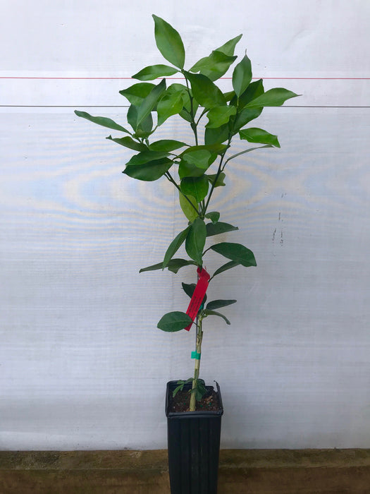 Red Navel Tree