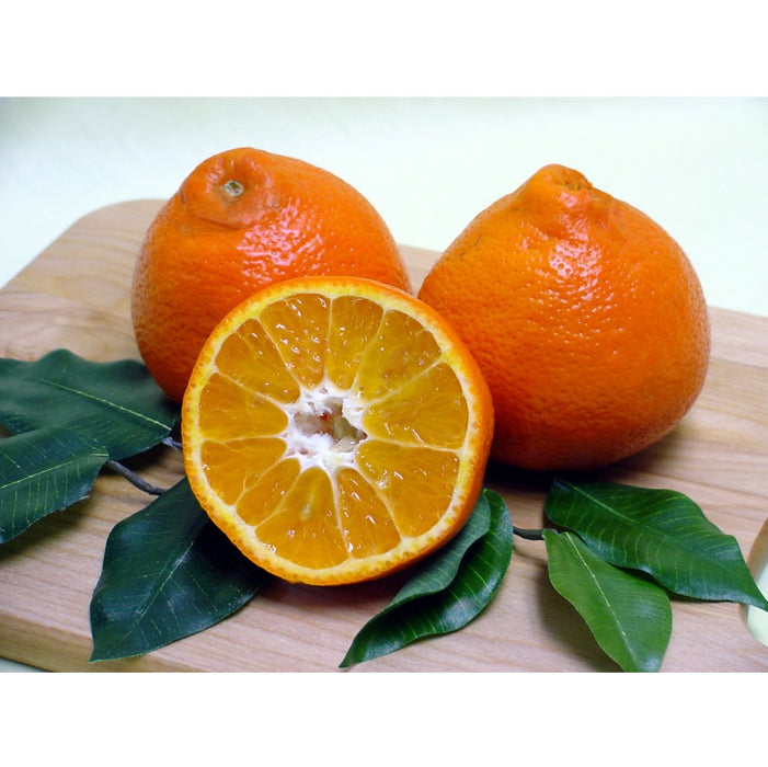 Sugar Belle® 'LB8-9' Mandarin Tree