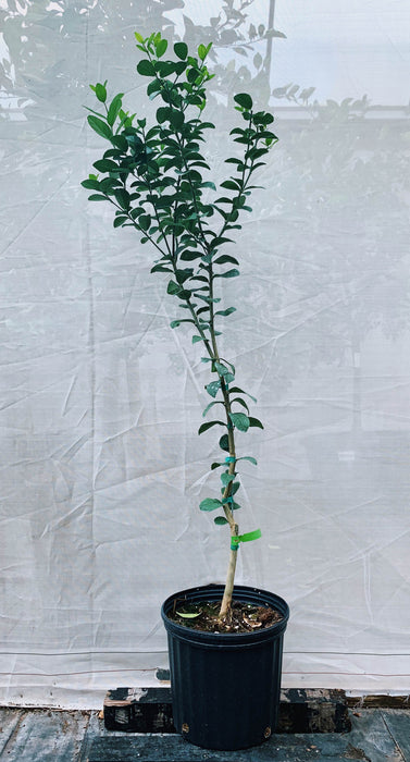Key Lime Thornless Tree 3 Gallon