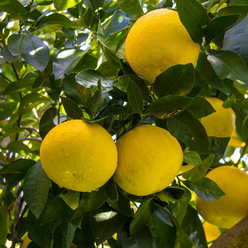 Triumph Grapefruit Tree