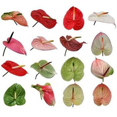 Anthurium Bulk Flower