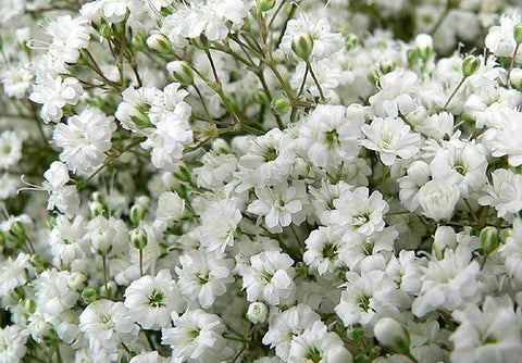 Baby's Breath Flower