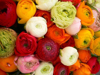 ranunculus flower wholesale bulk