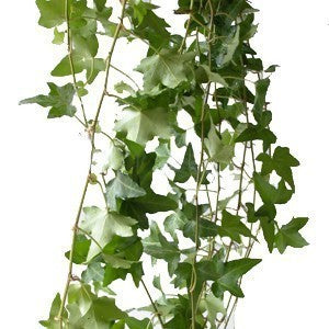 Green Ivy Foliage