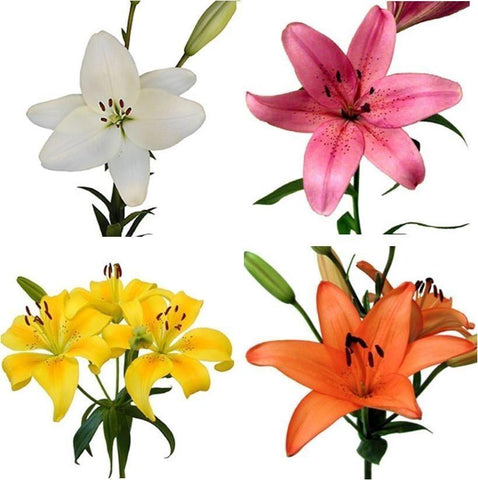 Assorted Asiatic Lily