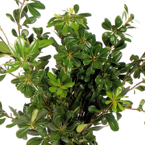 Green Pittosporum Foliage