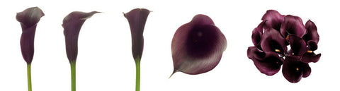 Purple Mini Calla Lily