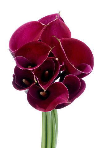 Dark Red Mini Calla Lily