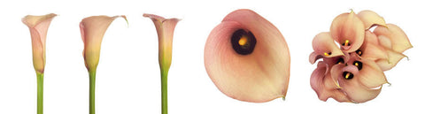 Peach Mini Calla Lily