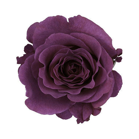 Purple Garden Rose