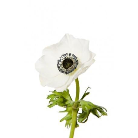 White Anemone with Dark Center