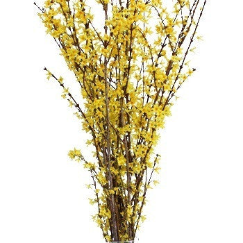 Forsythia Yellow Flowering Branches