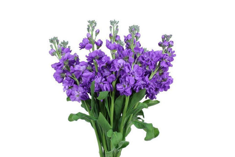 Purple Stock Flowers