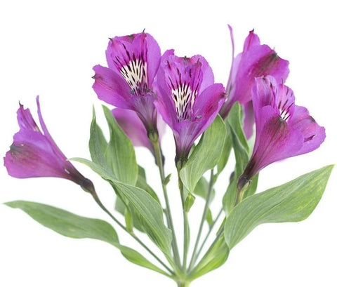 Purple Alstromeria