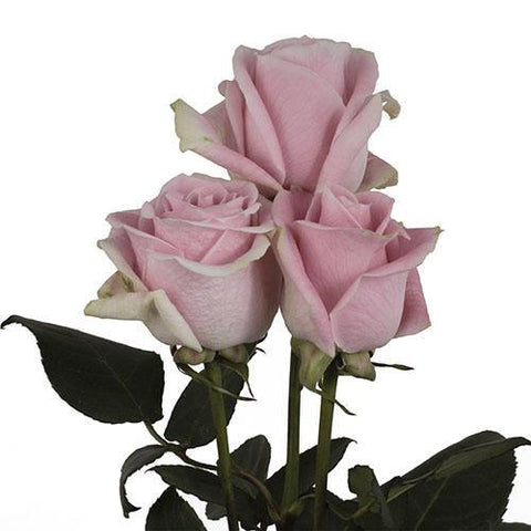 pink roses wholesale flower