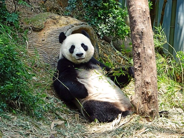 The surprising connection between you and a giant panda.