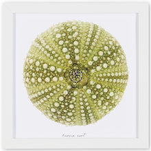 Load image into Gallery viewer, oursin vert, oursin, photographie oursin, green urchin, urchin photography, coastal art, art maritime, À Marée Basse