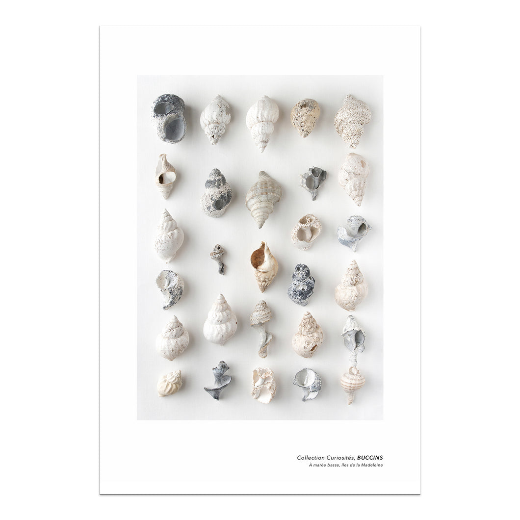 affiche buccins, collection de buccins, photographie buccins, buccins sur fond blanc, whelk photography, whelk poster, whelk on white background, coastal art, art maritime, À Marée Basse
