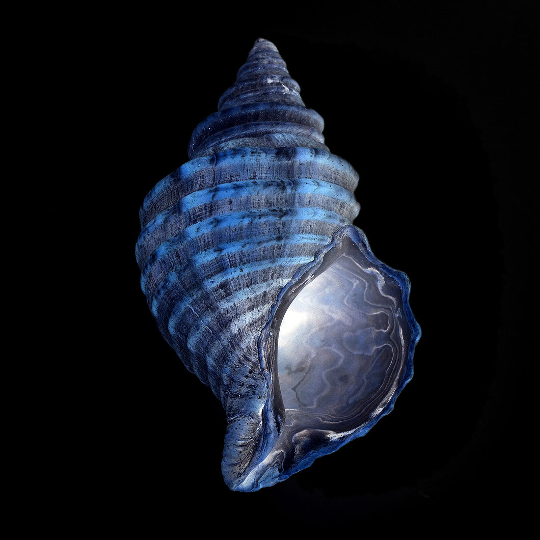 affiche buccin, buccin bleu, photographie buccin, buccin bleu sur fond noir, whelk photography, whelk poster, blue whelk on black background, coastal art, art maritime, À Marée Basse