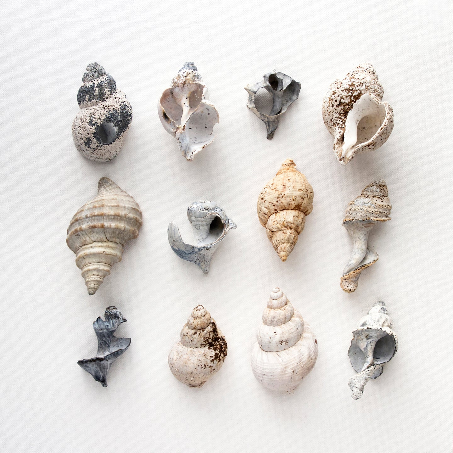 buccins, collection de buccins, photographie buccins, whelks, whelks photography, whelks collection, coastal art, art maritime, À Marée Basse