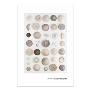 affiche dollars de sable sur fond blanc, sand dollars on white background poster, photographie dollars de sable, sand dollar photography, affiche planche naturaliste dollar de sable, art maritime, martime art, sand dollars, dollars de sable, À Marée Basse