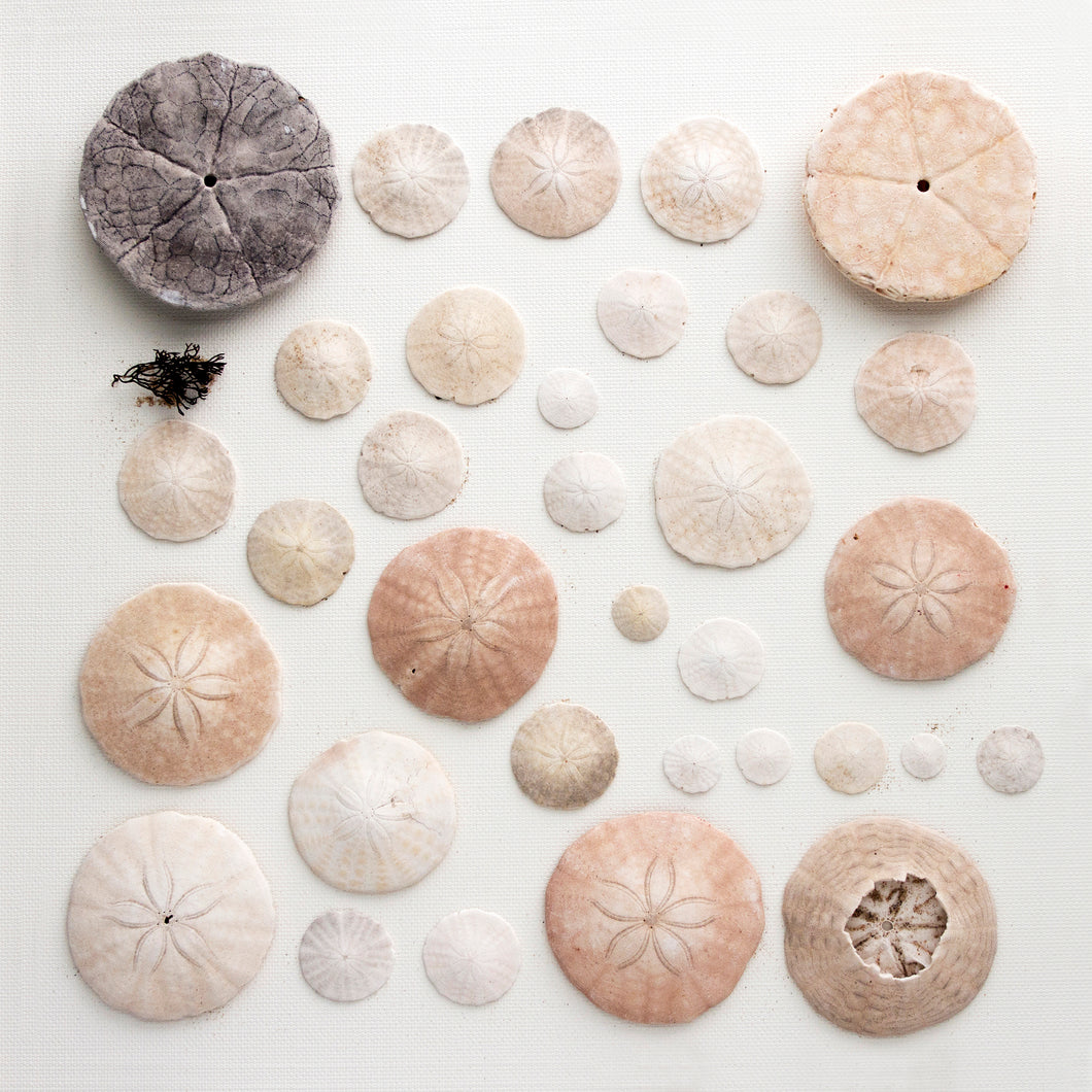 dollars de sable, collection dollars de sable, affiche dollars de sable sur fond blanc, sand dollar on white background, photographie dollar de sable, sand dollar photography, coastal art, art maritime, sand dollar, À Marée Basse