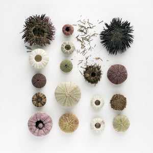 oursins, collection oursins, planche naturaliste, photographie oursins, photographie oursins sur fond blanc, sea urchins, sea urchin collection, coastal art, art maritime, À Marée Basse