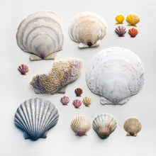 Load image into Gallery viewer, affiche pétoncles, pétoncles, photographie pétoncles, photographie coquillages, collection coquillages, scallop photography, scallop shells, coastal art, art maritime, À Marée Basse