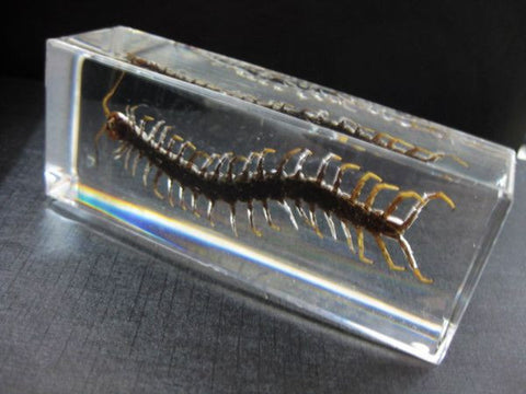 Preserved Giant Centipede - Resin