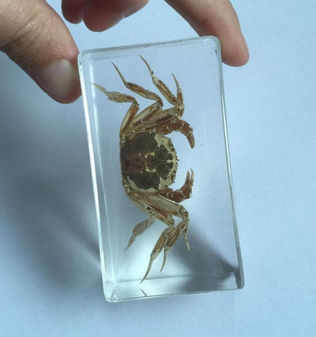 Preserved Chinese Crab - Resin