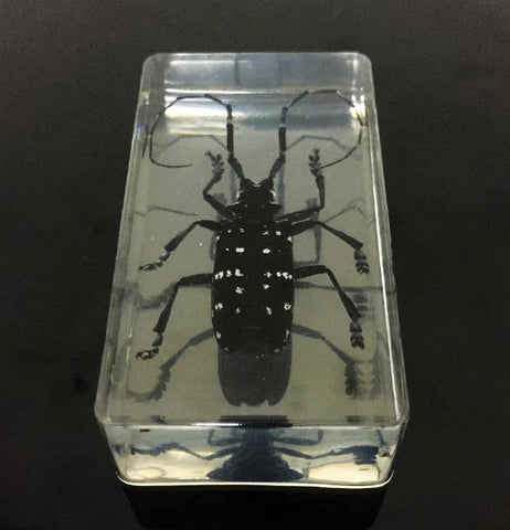 Chinese Spotted Longhorn Beetle (Anoplophora glabripenn) - Insect Specimen (Resin)