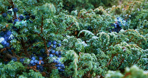 Botanical Oracle: Juniper, Juniperus communis