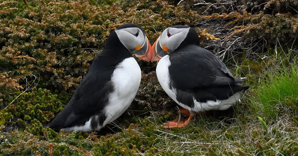 Two puffin bird mates