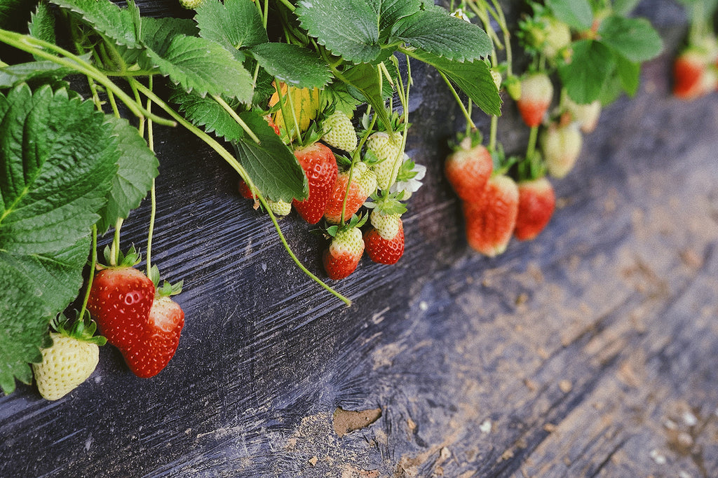 Strawberry experiment shows energy intention is a powerful force