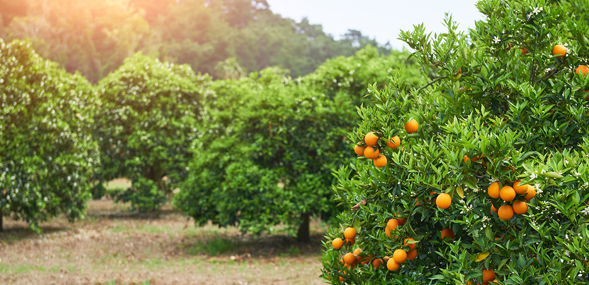 orange orchard with blossoms and beneficial orange oil