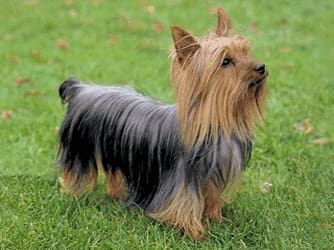 All You Want to Know About Silky Terriers and Their Dog Breed