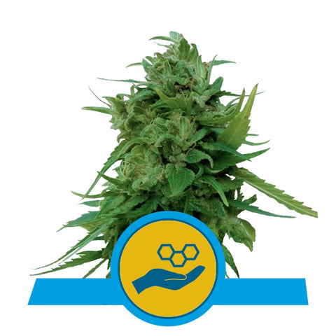 ROYAL QUEEN SEEDS SOLOMATIC CBD SAMEN 10 STK.