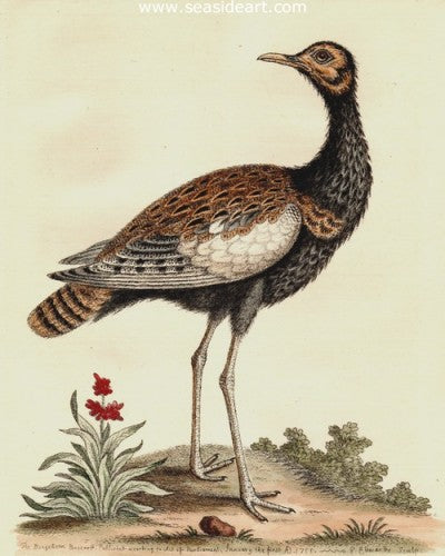Bengallean Bustard by George Edwards - Seaside Art Gallery