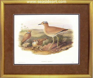 Cursorius Gallicus by John Gould - Seaside Art Gallery