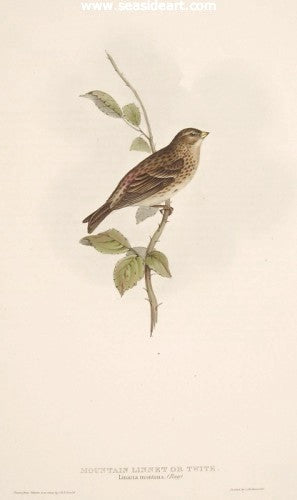 Mountain Linnet or Twite by John Gould - Seaside Art Gallery